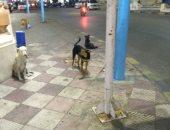 شكوى من انتشار الكلاب الضالة بسيدى بشر بالإسكندرية