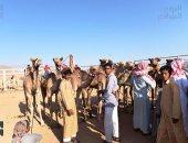 صور.. انطلاق مهرجان سباق الهجن الدولى بشرم الشيخ بـ3 أشواط صباحية