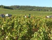 فرنسا تتخذ تدابير أمنية لحماية مزارع العنب من السرقة