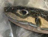 """عضو بـ""""البيطريين"""": سمكة الأرنب ممنوع تداولها لسميتها الشديدة وخطورتها"""