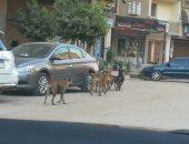 صور.. انتشار الكلاب الضالة فى شوارع المحلة والأهالى يطالبون بالتخلص منها