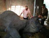 """ننشر مراحل تحنيط الفيلة """"نعيمة""""  قبل عرضها بالمتحف الحيوانى بحديقة الجيزة"""