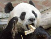"""نوبة قلبية أودت بحياة الباندا العملاق """"شوانج شوانج"""""""