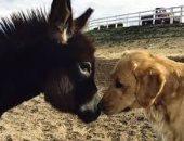 القارئة نورا عبد الفتاح تكتب: لماذا يحب الكلب الحمار؟