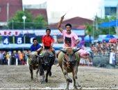 صورة وتعليق.. مهرجان سباق الجاموس احتفالا بحصاد الأرز فى تايلاند