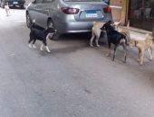 شكوى من انتشار الكلاب الضالة فى حى روض الفرج بالقاهرة