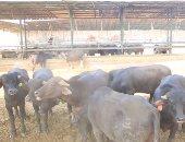 حملات بيطرية للرقابة على اللحوم ومنع ذبح العجول الصغيرة بالجمهورية