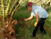 الزراعة تحدد 14 توصية لحدائق النخيل قبل بدء عملية التلقيح