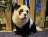 """مقهى فى الصين يحول الكلاب لباندا لجذب الزبائن.. """"ماعرفتكش أنا كده؟"""""""