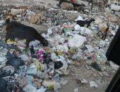 شكوى من تراكم القمامة واستخدامها كطعام للماشية فى 15 مايو بشبرا الخيمة