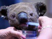 إنقاذ حيوانات الكوالا من حرائق الغابات فى أستراليا