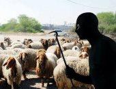 شرطة السعودية تلقى القبض على 3 متخصصين فى سرقة الماشية