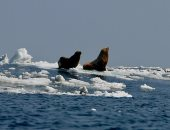 ذوبان الجليد فى القطب الشمالى يتسبب فى نشر فيروس يقتل أسود البحر