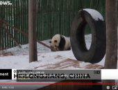 """""""الدبة تدب مطرح ما تحب"""".. الباندا العملاقة تلهو فرحاً وسط ثلوج غرب الصين"""