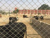 صور.. مزارع الدواجن والنعام داخل سجون طرة