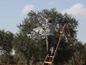 أسواق للمعلومات: مبادرة الرئيس لزراعة الزيتون وراء تصدر مصر الإنتاج العالمى