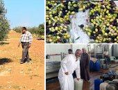 """""""الزراعة"""" تحدد 7 توصيات لزياد انتاج الزيتون.. تعرف عليها"""