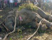 """بعد قتله 5 أشخاص.. نفوق الفيل """"بن لادن"""" داخل محمية فى الهند """"فيديو"""""""