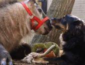 """فيديو وصور.. صداقات على غير العادة.. تقرير مصور يرصد علاقات صداقة حقيقية بين الحيوانات.. """"ماعز"""" ترضع حصانا إسكتلنديا وتنقذه من الموت.. كلبة تقوم بدور أم بديلة لظبى وجمل.. وحمار صديق مقرب لسيدة وزوجها"""