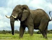 تقرير دولى يحذر.. الأفيال الأفريقية تواجه الانقراض