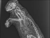 شاهد.. الأشعة السينية تقترب من كشف حقيقة مومياوات سقارة.. وترجح: أسود