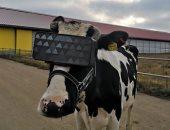 روسيا تختبر نظارات VR مع الأبقار لزيادة إنتاج الألبان فى الشتاء