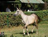 عناية صحية وتلقيح صناعى.. شاهد كيف يتم العناية بالخيول فى السعودية
