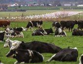 طريقة جديدة لتربية الأبقار ضمن أغرب طرق التصدى لتغير المناخ