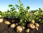 الزراعة: لجان مرورية على 311 ألف فدان منزرعة بطاطس لزيادة الإنتاج