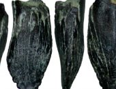 تفاصيل العثور على أسنان للديناصورات العملاقة فى شمال شرق روسيا