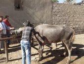 تحصين 4705 رأس ماشية ضد الحمى القلاعية بالمنيا