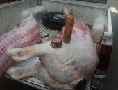 """ضبط مواطن حول منزله إلى """"سلخانة"""" فى دمنهور لذبح الماشية وتزوير الأختام"""