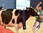 """ملكة جمال البقر.. نفوق أجمل بقرة فى ألمانيا الملقبة بـ """"ليدي جاجا"""""""