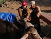 صور.. تحصين 103 آلاف رأس ماشية من الحمى القلاعية والوادى المتصدع بكفر الشيخ