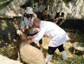 تحصين 100 ألف رأس ماشية ضد الحمى القلاعية ببنى سويف