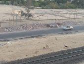 شكوى من انتشار الكلاب الضالة بمدينة الإسماعيلية