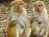 مثل البشر.. القردة تتواصل لبدء وإنهاء التفاعلات الاجتماعية