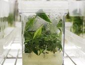 ألبانيا تعتزم تقنين زراعة القنب للاستخدام الطبي