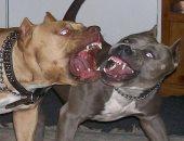 فيديو.. اعتقال عصابة فى البرازيل تدير معارك دموية بين كلاب بيتبول