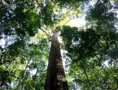 العثور على أطول شجرة فى غابات الأمازون.. ارتفاعها يعادل طول تمثال الحرية