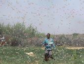 أسراب الجراد تجتاح شرق إفريقيا والأمم المتحدة: نحتاج 76 مليون دولار للسيطرة