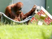 الحيوانات تتلقى هدايا الكريسماس فى حديقة حيوان بأستراليا.. شوف رد فعلهم
