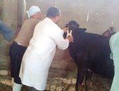 الزراعة: تحصين 415 ألف رأس ماشية ضد مرض الحمى القلاعية والوادى المتصدع