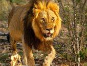تنزانيا ترفع حالة التأهب لنقل 36 أسداً تأكل الأفراد والمواشى