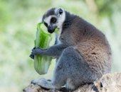 دراسة : تغير المناخ يهدد بقاء قردة الليمور فى مدغشقر