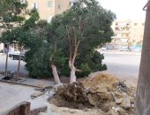قارئ يطالب محافظة القاهرة بإصلاح شجرة تلفت بسبب أعمال حفر بالتجمع الثالث