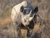 """عميدة حيوانات وحيد القرن.. نفوق """"فاوستا"""" أكبر أنثى خرتيت فى العالم بتنزانيا"""