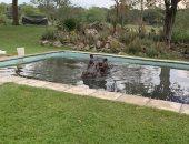 رجل يفاجأ بفرس نهر يزن 3 أطنان داخل حمام السباحة بمنزله فى بوتسوانا.. صور