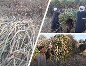روشتة لمزارعى محصول قصب السكر خلال أكتوبر