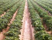"""""""الزراعة"""" تنظم دورات تدريبية للكشف عن أمراض الموالح والقمح والبطاطس.. اعرف التفاصيل"""